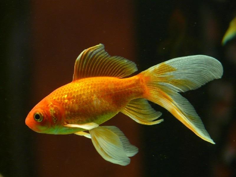 Hat eine größere Aufmerksamkeitsspanne als wir Menschen: Der Goldfisch.
